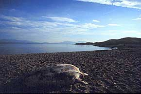beached turtle
